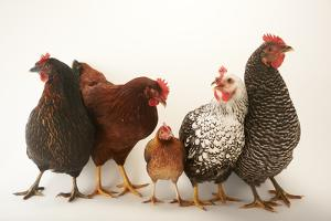 A Plymouth Barred Rock, Silver Laced Wyandotte, Nh Red, and Black Sex Link and Bantam Hen by Joel Sartore