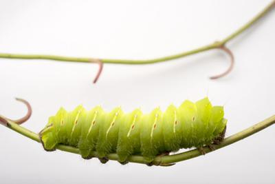 A Polyphemus Moth Caterpillar, Antheraea Polyphemus, at the Minnesota Zoo. by Joel Sartore