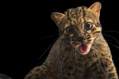 A portrait of a marbled cat, Pardofelis marmorata. by Joel Sartore