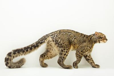A portrait of a marbled cat, Pardofelis marmorata. by Joel Sartore