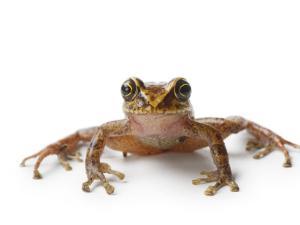 A pristimantis species of frog by Joel Sartore