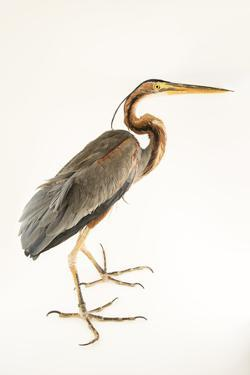 A purple heron, Ardea purpurea manilensis, at the Plzen Zoo. by Joel Sartore
