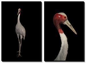 A Rare Indian Sarus Crane (Grus Antigone Antigone) by Joel Sartore