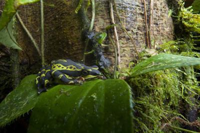 A Rare Limon Harlequin Frog, Atelopus Limon, Perched on a Leaf by Joel Sartore