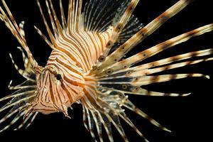 A Red Lionfish, Pterois Volitans, at Pure Aquariums. by Joel Sartore