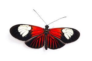 A red postman butterfly, Heliconius erato lativitta, at the Saint Louis Zoo. by Joel Sartore
