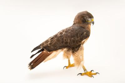 A Red Tailed Hawk, Buteo Jamaicensis, at Parque Zoologico Nacional. by Joel Sartore