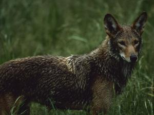 A Red Wolf at a Captive Breeding Center by Joel Sartore