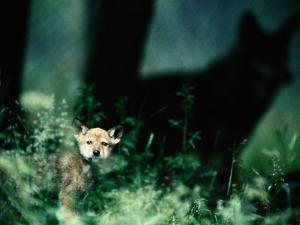 A Red Wolf Peers Through Foliage by Joel Sartore