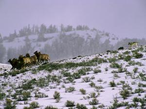 A Reintroduced Wolf Chases a Herd of Elk in Yellowstone National Park by Joel Sartore