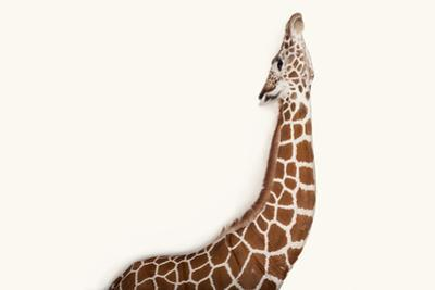 A Reticulated Giraffe at Rolling Hills Wildlife Adventure Near Salina, Kansas by Joel Sartore