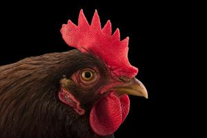 A Rhode Island red domestic chicken, Gallus gallus domesticus, from a private collection. by Joel Sartore