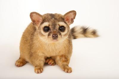 A Ring Tailed Cat, Bassariscus Astutus, at the Fort Worth Zoo. by Joel Sartore