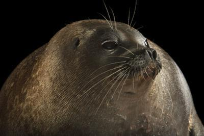 A ringed seal, Pusa hispida, at the Alaska SeaLife Center. by Joel Sartore