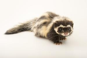 A Saharan striped polecat, Ictonyx libycus, at the Plzen Zoo. by Joel Sartore