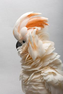 A salmon-crested cockatoo at the Sedgwick County Zoo. by Joel Sartore