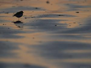 A Sandpiper, Perched on One Leg, Silhouetted on Sandflats at Twilight by Joel Sartore