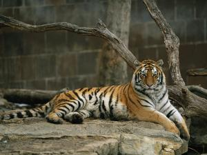 A Siberian Tiger Rests in Her Outdoor Enclosure by Joel Sartore