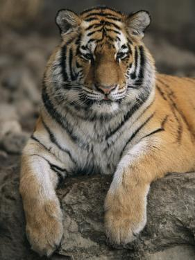 A Siberian Tiger Rests on a Rock in an Outdoor Enclosure by Joel Sartore