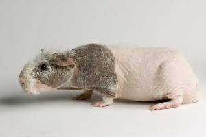 A 'Skinny Pig', Cavia Porcellus, a Hairless Guinea Pig Breed. by Joel Sartore