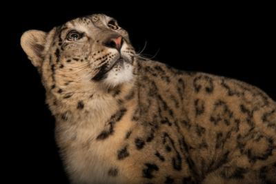 A Snow Leopard, Panthera Uncia, at the Miller Park Zoo by Joel Sartore