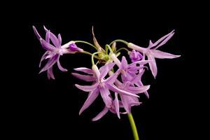 A Society Garlic Plant, Tulbaghia Violacea by Joel Sartore