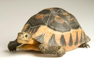 A South African Bowsprit Tortoise, Chersina Angulata, at Detroit Zoo. by Joel Sartore