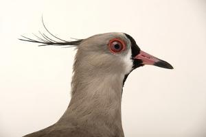 A Southern Lapwing, Vanellus Chilensis, at the Palm Beach Zoo by Joel Sartore