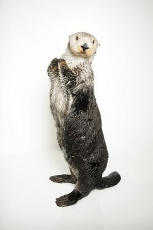 A southern sea otter, Enhydra lutris nereis, at the Aquarium of the Pacific. by Joel Sartore