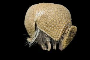 A Southern Three-Banded Armadillo, Tolypeutes Matacus, at Lincoln Children's Zoo. by Joel Sartore