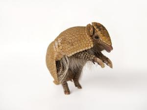 A Southern Three-Banded Armadillo, Tolypeutes Matacus by Joel Sartore