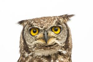 A Spotted Eagle Owl, Bubo Africanus, from the Plzen Zoo by Joel Sartore