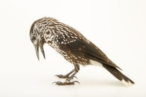 A spotted nutcracker, Nucifraga caryocatactes, at the Plzen Zoo. by Joel Sartore