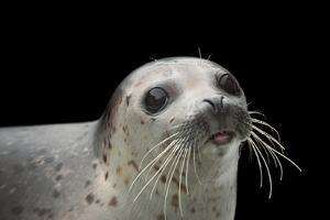 A spotted seal, Phoca largha, at the Alaska SeaLife Center. by Joel Sartore