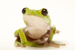 A Spurrell's Tree Frog, Agalychnis Spurrelli, at the Saint Louis Zoo by Joel Sartore