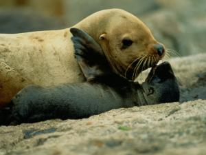 A Steller Sea Lion Cow Exchanges a Kiss with Her Pup by Joel Sartore