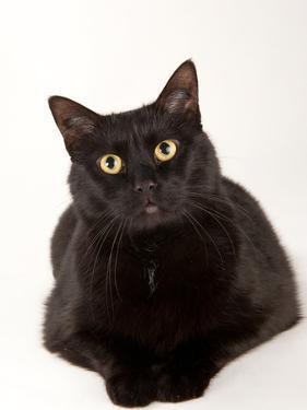 A Studio Portrait of a Cat Named Amadeus Wolfgang Meowzart by Joel Sartore