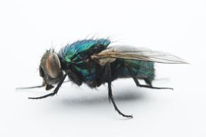 A studio portrait of a fly in Lincoln, Nebraska. by Joel Sartore