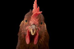 A Studio Portrait of a New Hampshire Red Hen by Joel Sartore