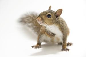 A Studio Portrait of an Eastern Gray Squirrel, Sciurus Carolinensis by Joel Sartore