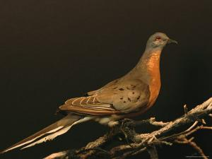 A Stuffed and Mounted Passenger Pigeon on Display at a Museum by Joel Sartore