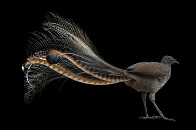 A Superb Lyrebird, Menura Novaehollandiae, at Healesville Sanctuary. by Joel Sartore