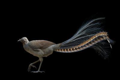 A Superb Lyrebird, Menura Novaehollandiae, at Healesville Sanctuary by Joel Sartore