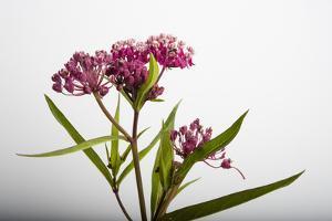 A Swamp Milkweed Flower, Asclepias Incarnata by Joel Sartore