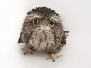 A Tawny Frogmouth Owl, Podargus Strigoides, at the Fort Worth Zoo by Joel Sartore