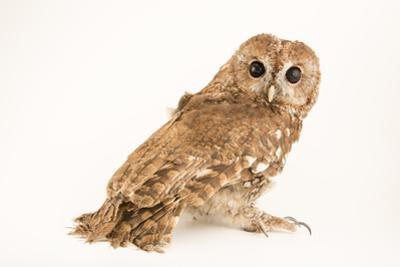 A Tawny Owl, Strix Aluco Sylviatica