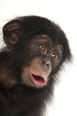 A Three-Month-Old Baby Chimpanzee, Pan Troglodytes, at Tampa's Lowry Park Zoo by Joel Sartore