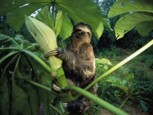 A Three-Toed Sloth Feeds on the Leaves of an Ambaibo Tree by Joel Sartore