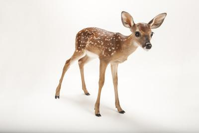 A Three-Week-Old White-Tailed Deer Fawn, Odocoileus Virginianus.