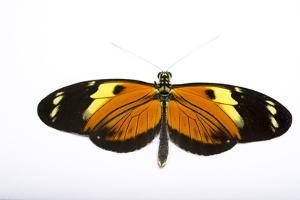 A tiger longwing butterfly, Heliconius ismenius tilletti, at the Saint Louis Zoo. by Joel Sartore